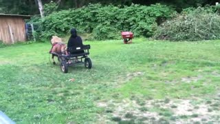 Miniature Pony Bucks when He is pulling a buggy - Video