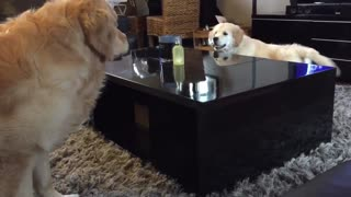 Golden retriever puppy outsmarts his older brother! - Video