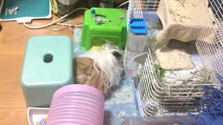 Mop Walk of the Guinea Pig - Video