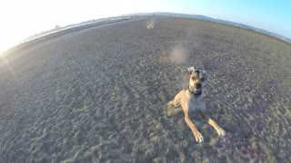 Dog chases drone all across the beach - Video