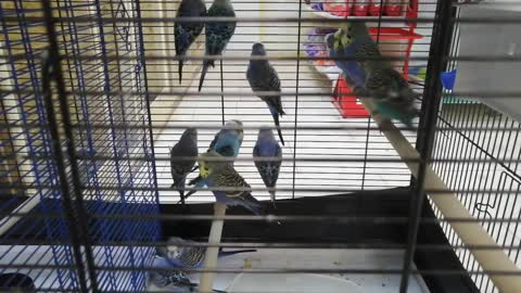 There are a lot of parrots in a cage.