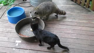 Raccoon unphased by cat smack