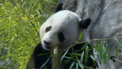 National Zoo prepares to say bye bye to Bao Bao