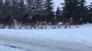 40 Clydesdale Mares Run Home For The Winter – Absolutely Beautiful! - Video