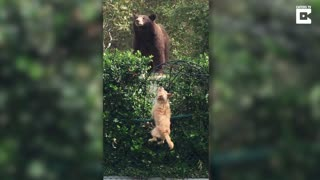 Tiny Dogs Fearlessly Chase Off Grizzly Bear - Video
