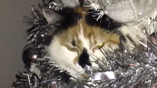 Cat Chills in Christmas Tree - Video