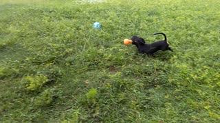 Lilly playing fetch - Video