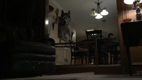 Incredible Husky Jump