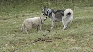 Lamb enjoys outdoor playtime with Husky - Video