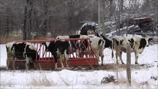 Some Cows paying Attention  - Video