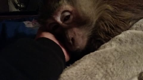 Just 5 more minutes begs this Monkey