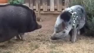 Piggy Smackdown - Video