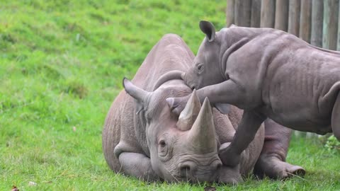 Playful Baby Rhino Adorably Pesters His Mom