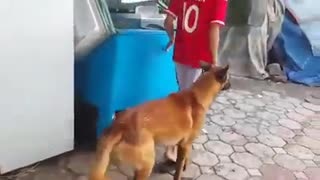 Malinois dog breed - It is breed versatile and highly intelligent - Video