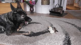 German Shepherd welcomes newborn baby chicks - Video