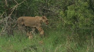 Lioness and her cubs - Video