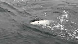 Goliath Steals My Chinook Salmon - Video