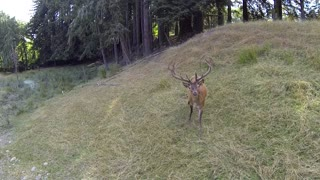 Red deer fascinated by hovering drone - Video