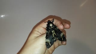 Death's-Head Hawkmoth Screaming - Video