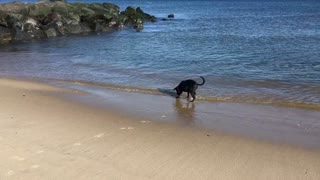 Brilliant Dog plays Fetch with Ocean  - Video