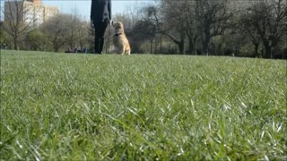 Golden Retriever shows off training skills - Video