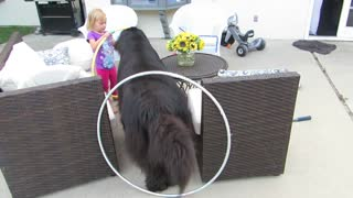 Little girl trains giant dog for circus act - Video