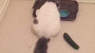Unsuspecting cat freaked out by cucumber - Video