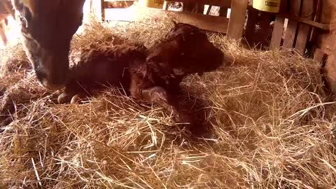 Newborn calf gets dried off by her Mom