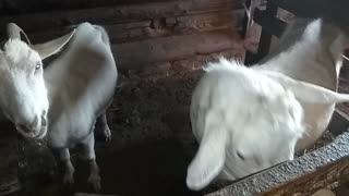 Goats eat cabbage