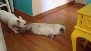 Bully puppy drags cat right out of the room!