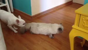 Bully puppy drags cat right out of the room! - Video