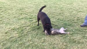 When a tiny dog plays with a big dog... - Video