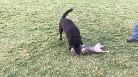 When a tiny dog plays with a big dog...