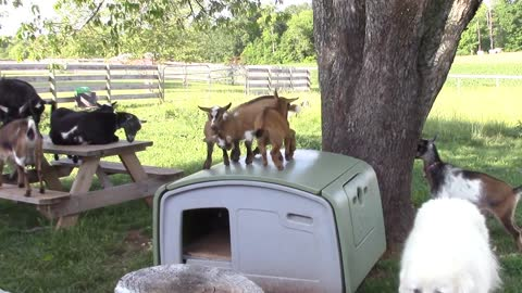 Goat kids play atop chicken coop