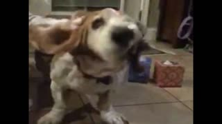 Basset hound shakes it off in slo mo - Video