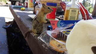 Chipmunk tries to steal cookie - Video