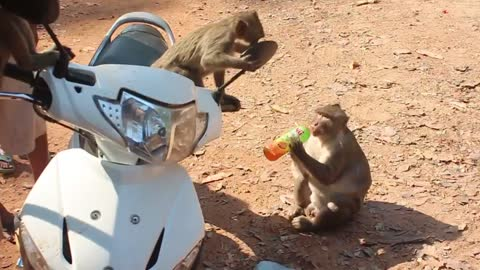 Monkeys take over man's bike