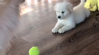 cheupu golden doggy with tennis ball and Mom - Video