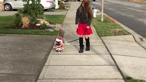 Ragdoll cat walks on leash dressed as Santa