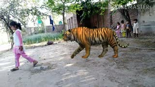 A Tiger is behind the girl but she didn't know what happening behind her  - Video