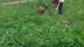 Hunting Dog Training (Pre-Training Part 2) - Video