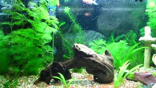 Feeding my cute fishes Spirulina flakes - Video