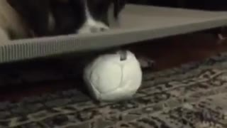 Saint bernard scratches mat trying to get ball underneath - Video