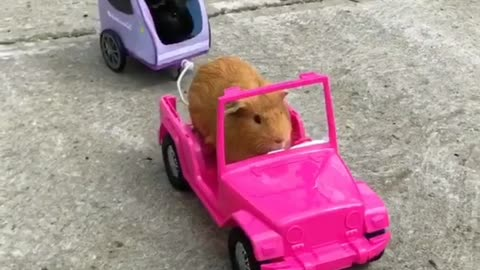 Guinea pigs enjoy cruise during lovely summer day