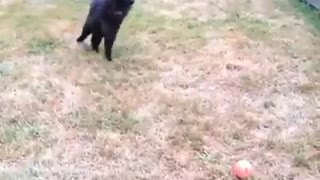 This cat playing fetch is everything