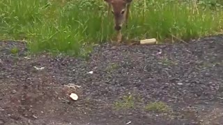 Feeding A Wild Deer  - Video