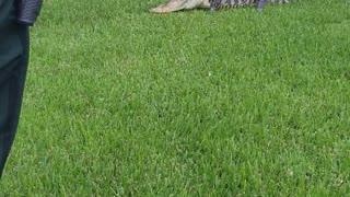 Gator at the Front Door - Video