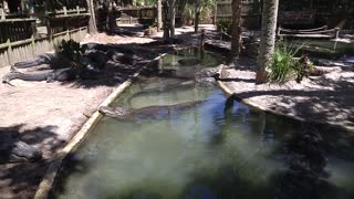 Hanging Out At The Lagoon At The Alligator Farm