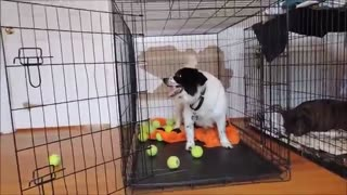 Former chained dog discovers joy of tennis balls - Video