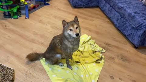 Muddy Shiba Inu knows it's time for a bath